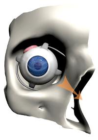 ligaments des yeux et convergence